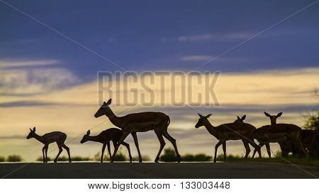 Specie Aepyceros melampus family of bovidae, wild impalas walking on sunset