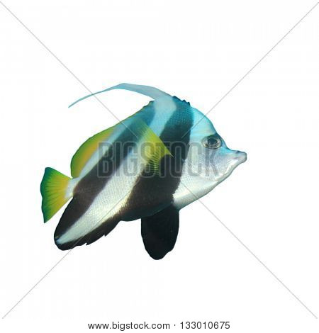 Tropical fish: Longfin Bannerfish isolated on white background