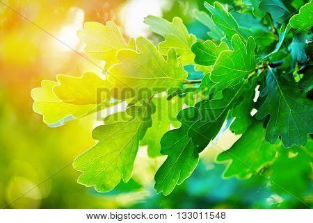 Green oak leaves, illumination of the bright rays of the sun