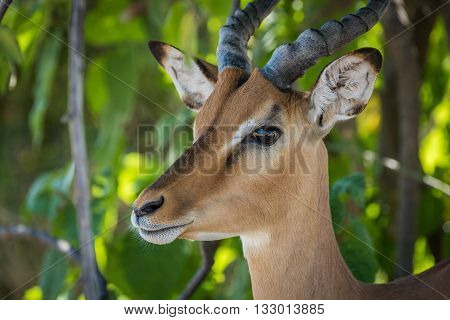 Close-up Of Male Impala Head In Bushes