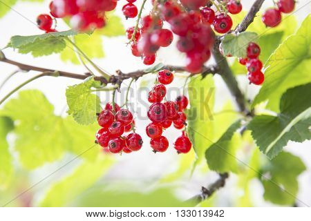 Of Redcurrant Berries On Tree Branch
