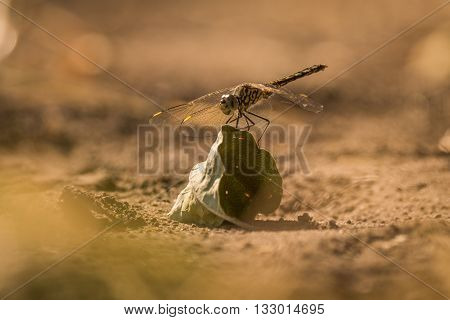 Dragonfly Perched On Dry Leaf On Ground