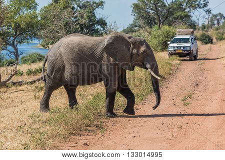Elephant Crossing Track In Front Of Jeep