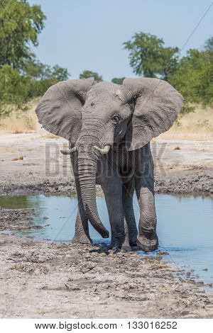 Elephant Leaving Water Hole With Turned Head