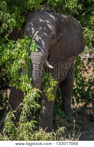 Elephant Standing In Bushes In Dappled Sunlight