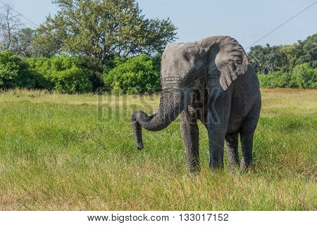 Elephant Standing With Trunk Hooked On Tusk