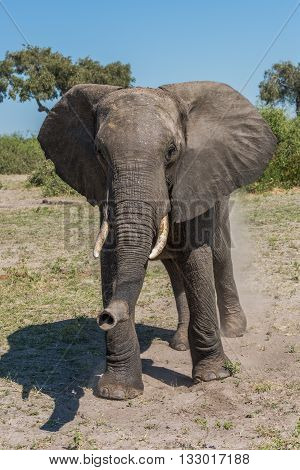 Elephant Staring At Camera In Grassy Clearing