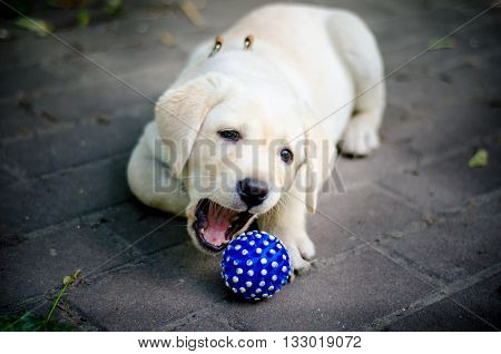 Cute labrador puppy playing with a blue ball.
