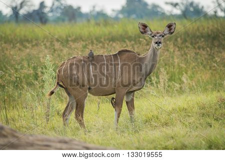 Female Greater Kudu With Oxpeckers Facing Camera