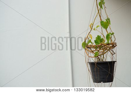 House plant hanging in front of white wall and pipe background. Copyspace on the left.