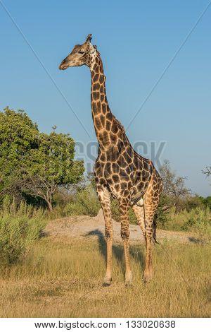 Giraffe Stands In Grassy Clearing Facing Camera