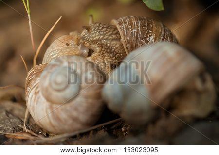 few garden snails closeup on natural background. Mollusk. Teamwork concept