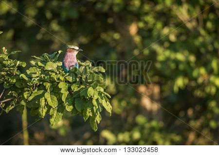 Lilac-breasted Roller Perched In Clump Of Leaves