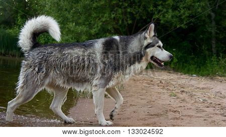 the dog, breed a malamute, on the beach, wet, leaves water, sand, trees and the wood a background