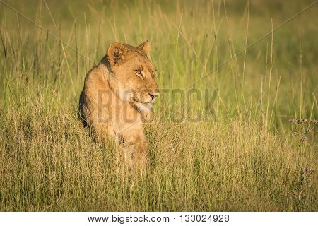 Lion Lying On Grassy Mound At Sunset