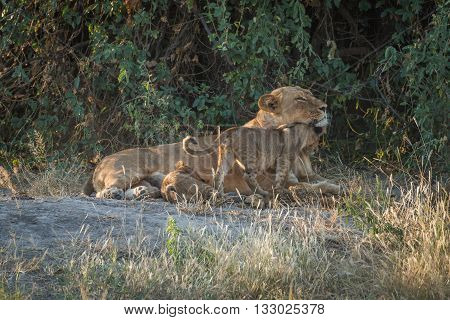 Lioness Lying In Bushes With Two Cubs