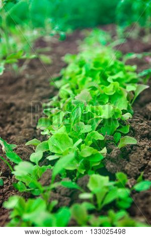 Grow salad in greenhouse. Lettuce growing in the greenhouse closeup