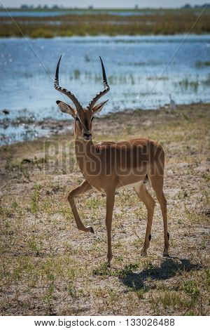 Male Impala Beside River Lifting Leg High