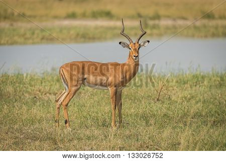 Male Impala On River Bank Facing Camera