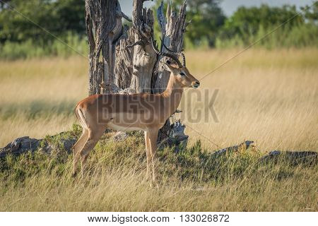 Male Impala Stands Staring By Dead Tree