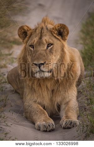 Male Lion Lying In Shade On Track