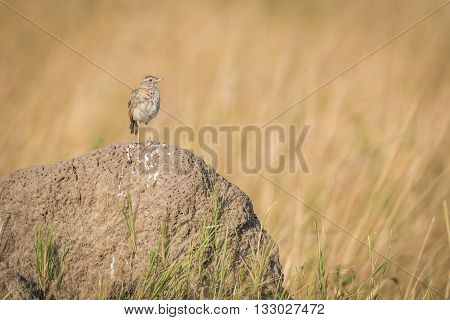 Monotonous Lark On Termite Mound In Grassland