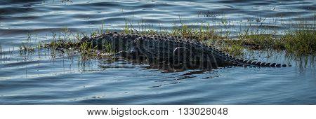 Panorama Of Nile Crocodile On Grassy Island