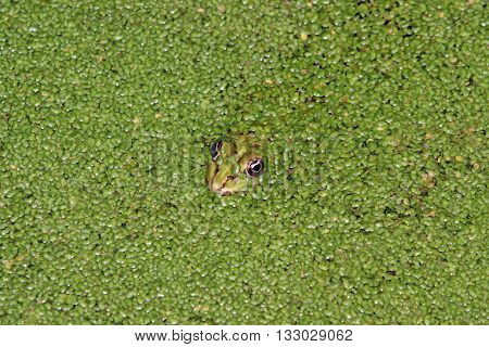 the eyes and the head of a frog in the green of the pond