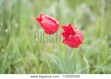 Wild red tulip or Tulipa schrenkii, Tulipa suaveolens  blooming in steppe