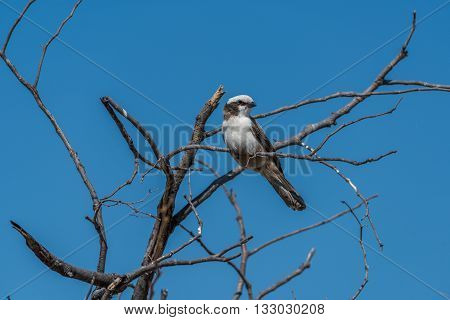 Southern Pied Babbler In Dead Tree Branches