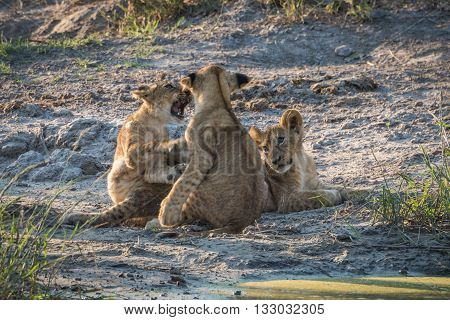 Two Lion Cubs Play Fighting By Another