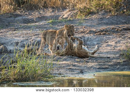 Two Lion Cubs Playing By Water Hole