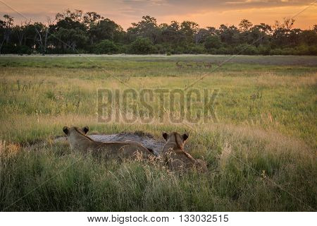 Two Lions Watching Impala Herd At Dusk