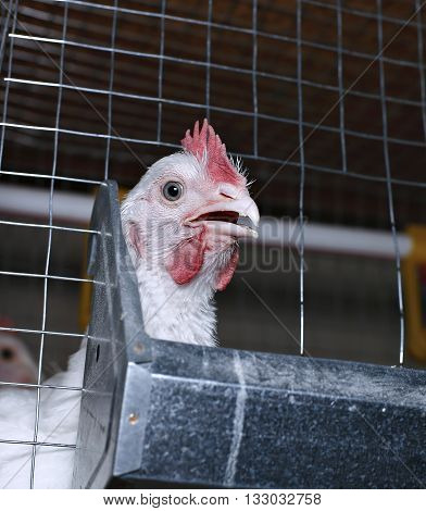 Few chickens eating combined feed in the cage on the farm