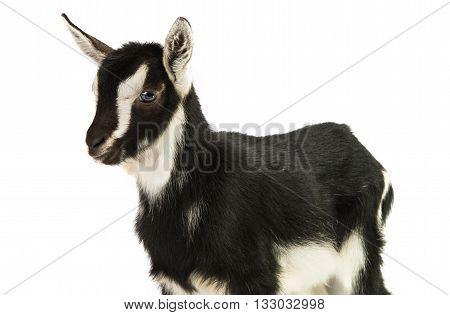 white little goat isolated on white background
