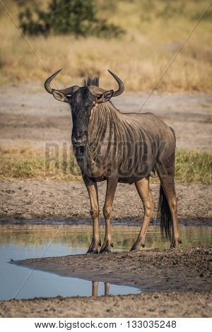 Blue wildebeest standing beside puddle facing camera