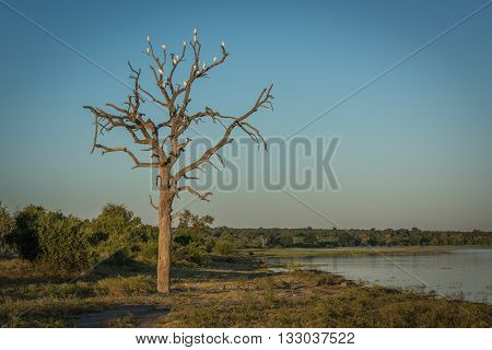 Cattle egrets in dead tree beside river