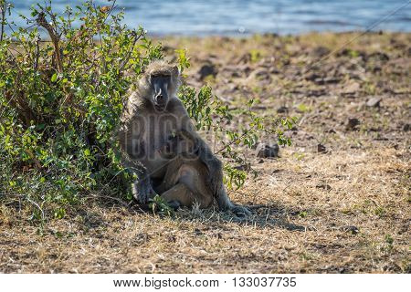 Chacma baboon mother nursing baby on riverbank