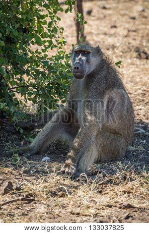 Chacma baboon sitting by bush on ground