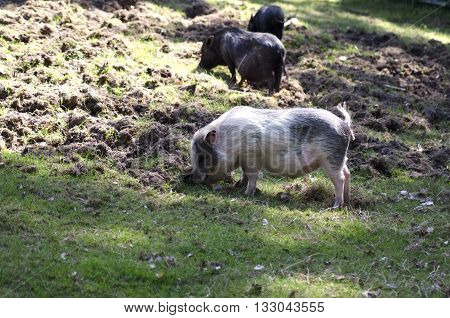 Three farm pigs looking for food on the ground during a sunny summer day in Scandinavia.
