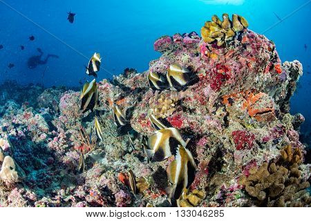school of butterfly fish while diving in maldives