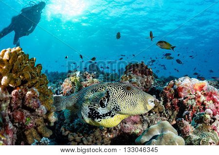 Giant Oceanic Box Puffer Fish Underwater Portrait