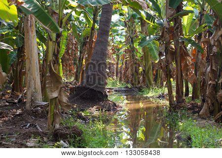 Banana Plantation In Humpi City, India, Karnataka. Organic Farm Food Production