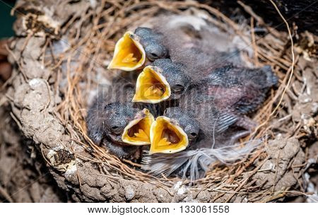 Swallow chicks waiting to get food with their beaks wide open