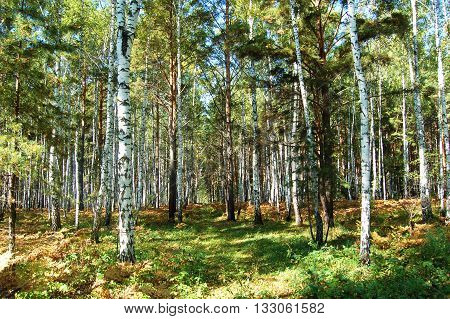 Sunny day in the forest, pines and birch trees dance in a circle.