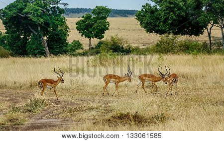 Impala Antilopes fighting in National Park Masai Mara Kenya