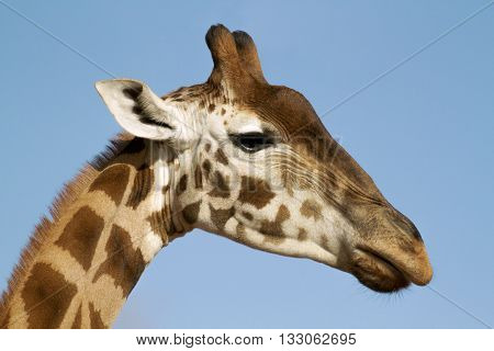 The giraffe is an African even-toed ungulate mammal, the tallest living terrestrial animal and the largest ruminant
