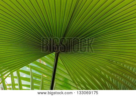 The Texture of palm leaves green background