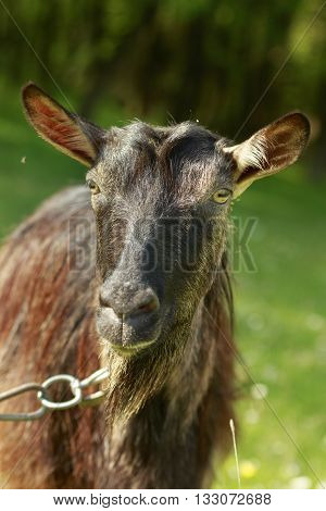 Dark-haired goat close-up with green nature background