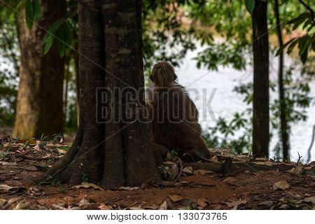 red monkey looks into the distance. Sri Lanka